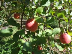 16りんご狩り.JPG