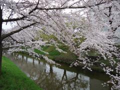16桜.JPG