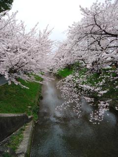 16桜2.JPG